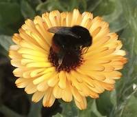 Bee_on_Yellow_Flower
