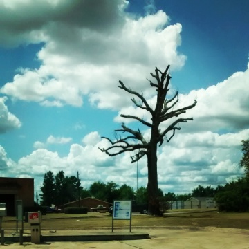 Photo: dead tree in Garrison, TX (on the way to AR).
